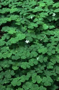 оксалис цветок, оксалис фиолетовый уход