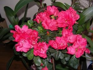 домашние цветы азалия, азалия фото уход