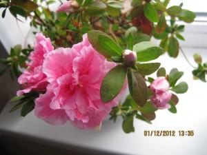 домашние цветы азалия, азалия дома