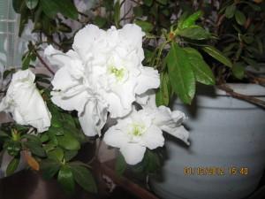 выращивание азалии, как поливать азалию