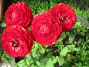 цветок ранункулюс, как вырастить ранункулюс
