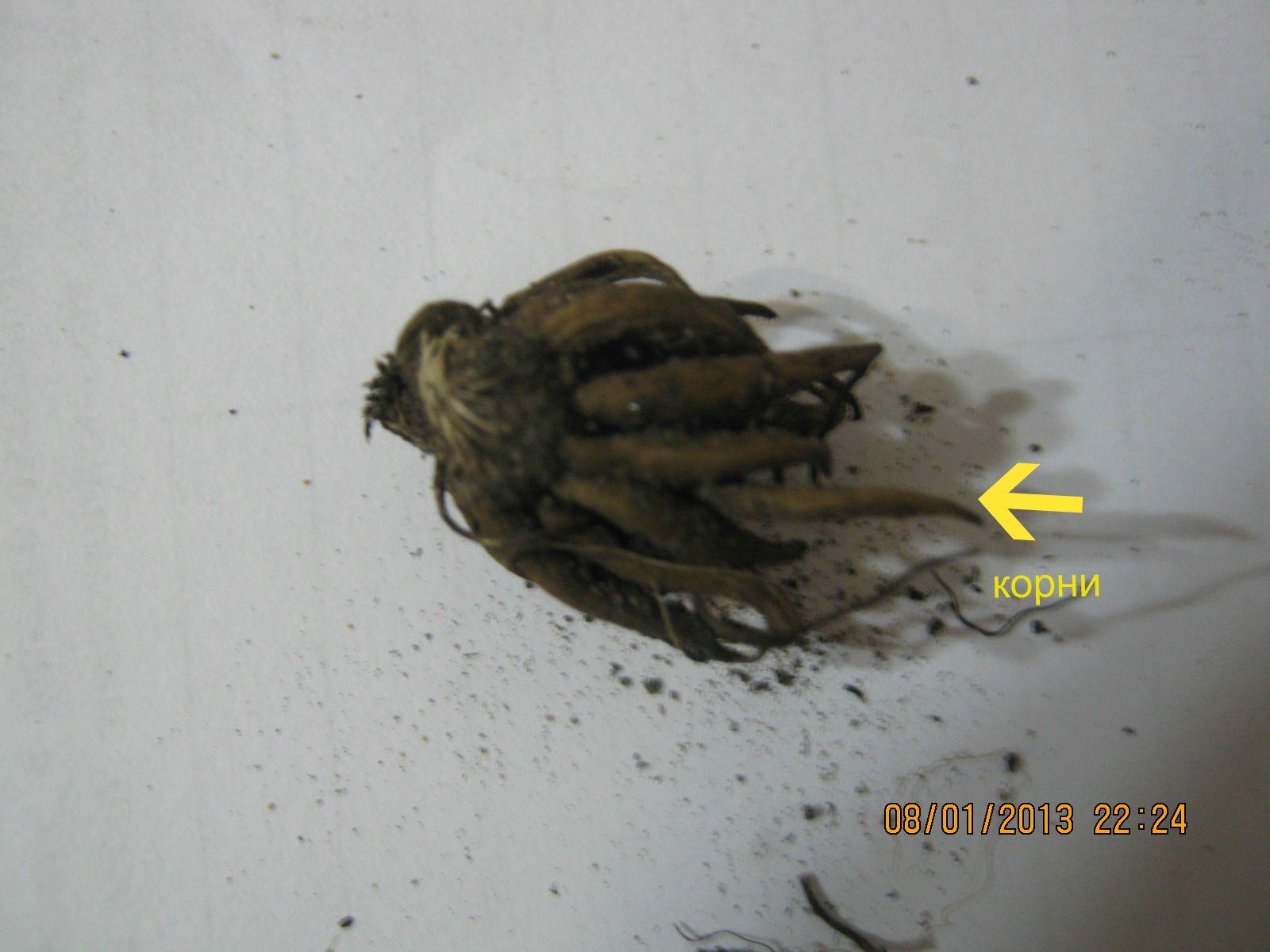 ранункулюс посадка и уход